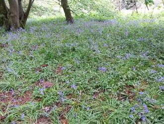 Bluebells in Hazel Woods