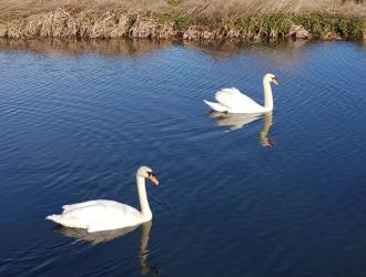 Swans on the Gipping